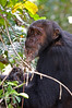 The first chimp I saw.
