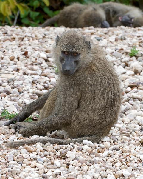 Baboon on the beach.