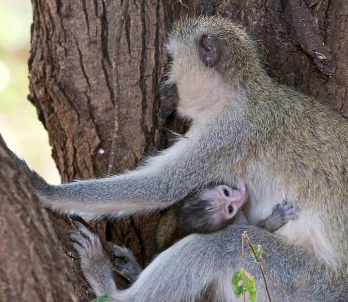 Black-faced vervet mother and baby.