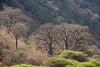 Baobob trees.