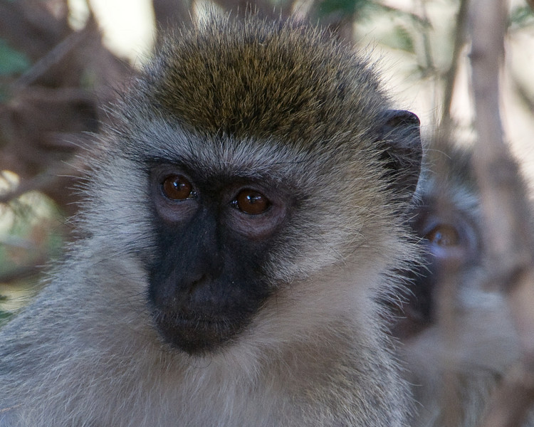 Black-faced vervet monkey.