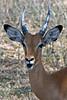 Impala portrait.