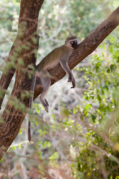 A very relaxed black-faced vervet.