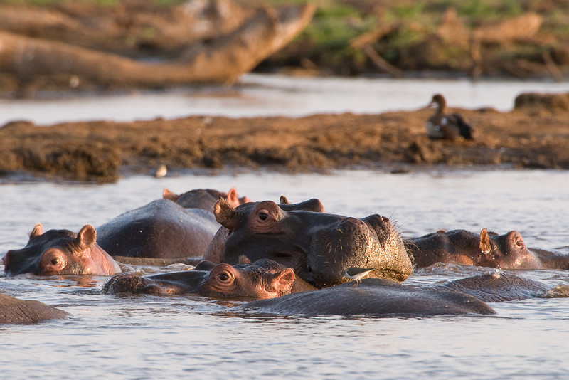 In the hippo pool.