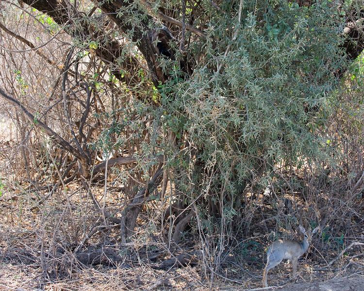 Dik dik - the smallest of the antelopes.