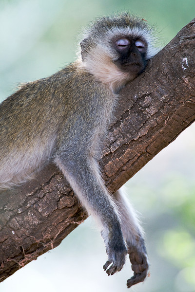 Black-faced vervet monkey sleeping.