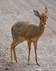 A dik-dik in the road.