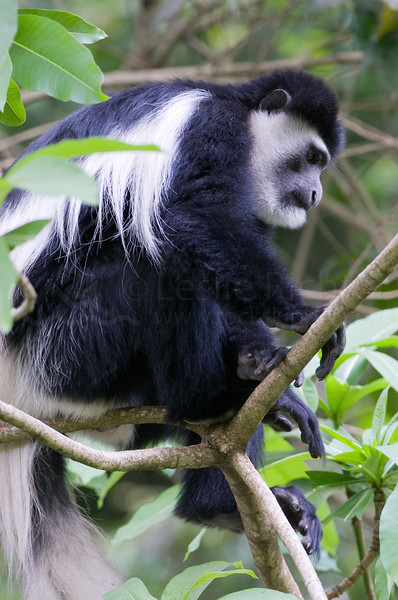 Black and white colobus monkey in tree.