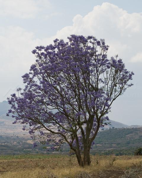 Jacaranda tree on the way to Monduli Juu.