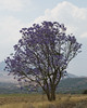 Jacaranda tree on the way to Monduli Juu.