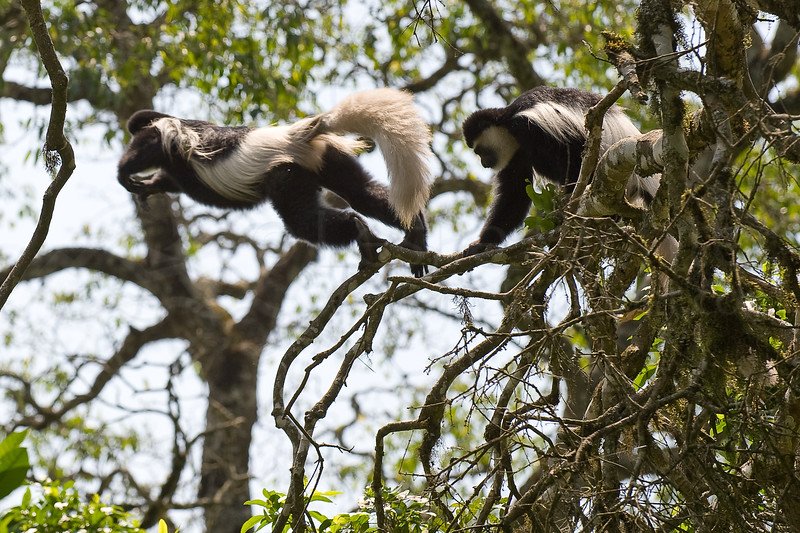 Black and white colobus monkeys on the move.
