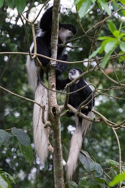 Black and white colobus monkeys.