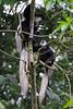 Black and white colobus monkeys.