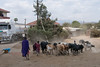 Masai herding cattle through Arusha.