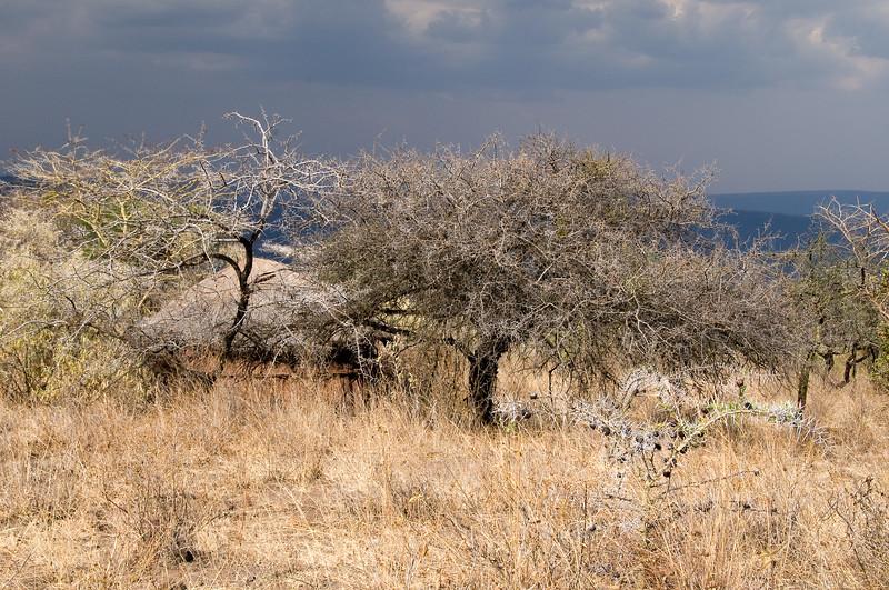 Acacia trees including whistling acacia.
