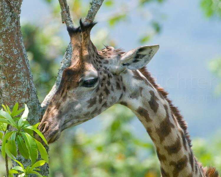 Giraffe grazing.
