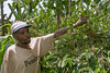 Coffee growing in the Chagga village at the foot of Mt. Kilimanjaro.