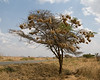 Tree with many weaver nests on road to Monduli town.