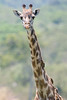 Giraffe and red-billed oxpecker.