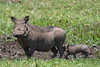 Warthog - mother and baby