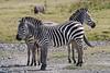 Zebras in a classic pose.
