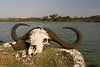 Cape buffalo skull by Big Lake Momella, Arusha National Park.