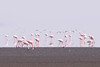It is estimated that 75% of the world's lesser flamingos are hatched on the shores of Lake Natron.