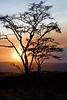 Acacia sunset.