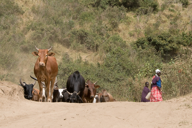 Masai and cattle.