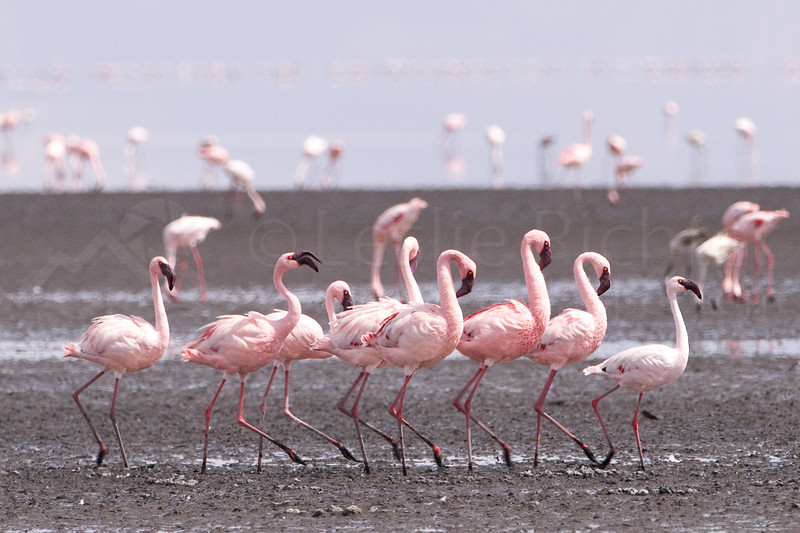 Greater and Lesser Flamingos.