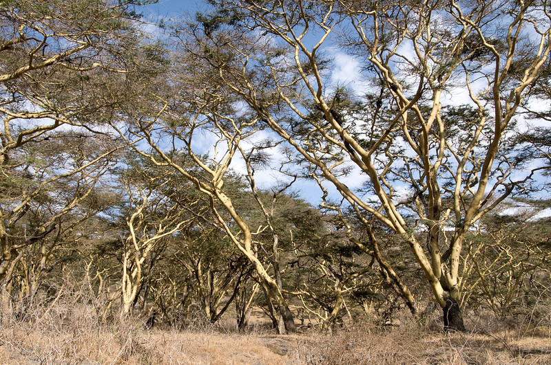 Acacia camp lies at the western foot of Oldoinyo Lengai, an active volcano. It is named for the beautiful yellow barked acacias, also known as fever acacias for their use in traditional medicine.