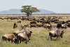 Wildebeest migration.