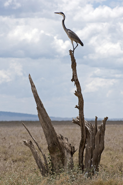 Black-headed heron - Ardea melanocephala