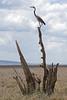 Black-headed heron - Ardea melanocephala
