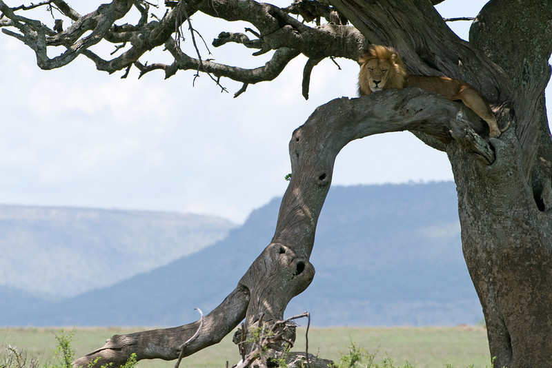 A male tree-climbing lion.