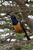 Hildebrandt's starling - Lamprontornis hildebradtii
