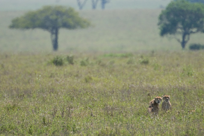 Two cheetahs on the prowl.