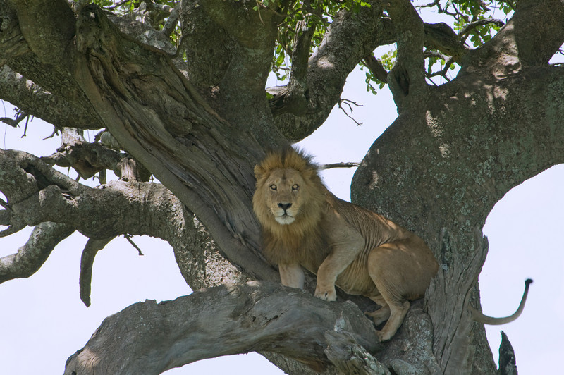 Tree-climbing male lion.