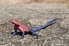 Male Agama lizard.