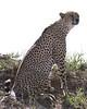 Cheetah on a hill.
