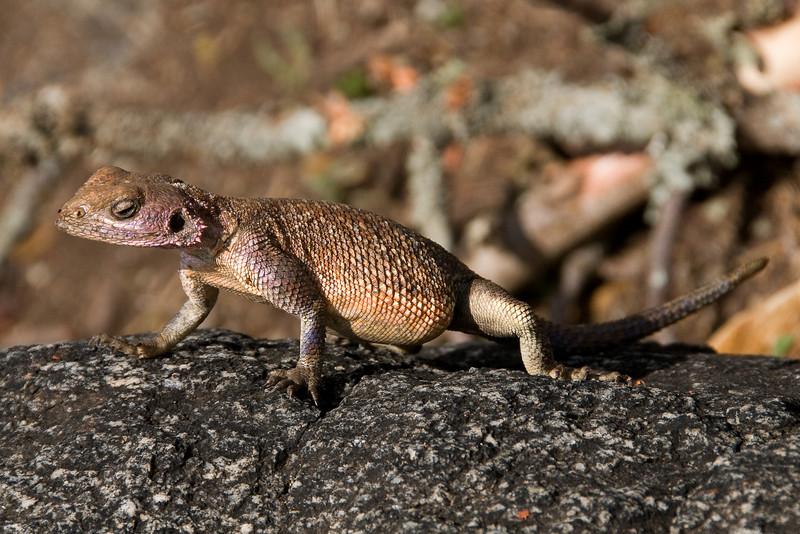 Female Agama lizard.