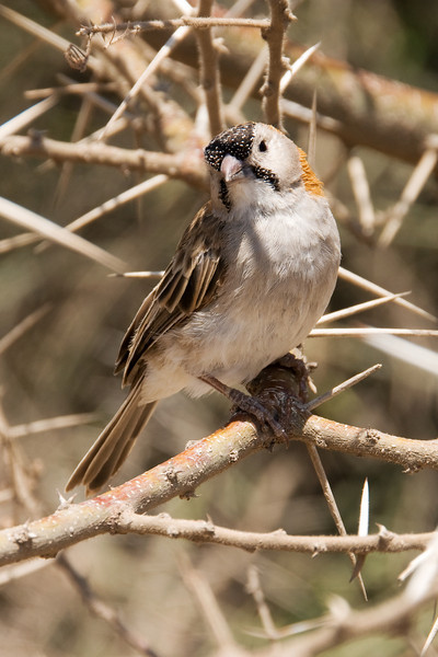 Speckle-fronted weaver -Sporopipes frontalis