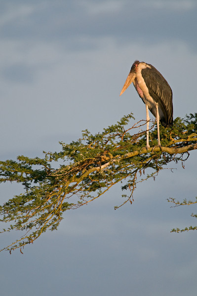 Marabou stork - Leptoptilus crumeniferus