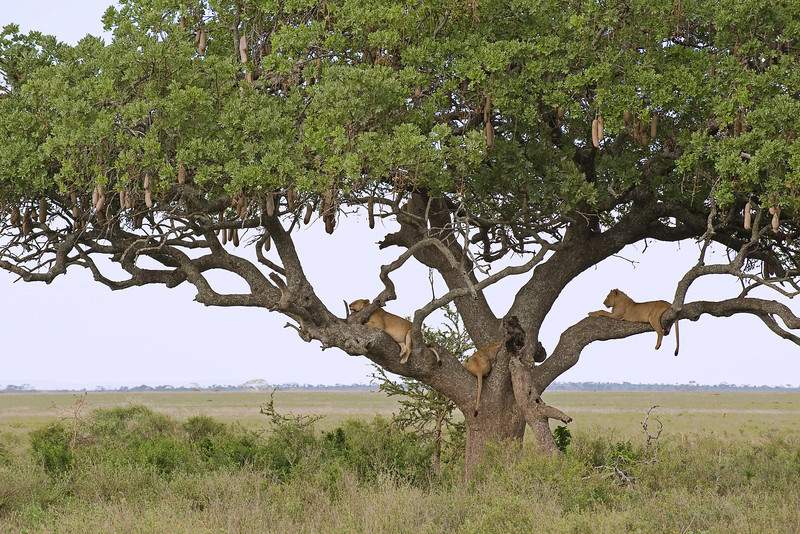 Lions in a sausage tree.
