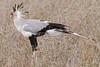 Secretary bird - Sagittarius serpentarius