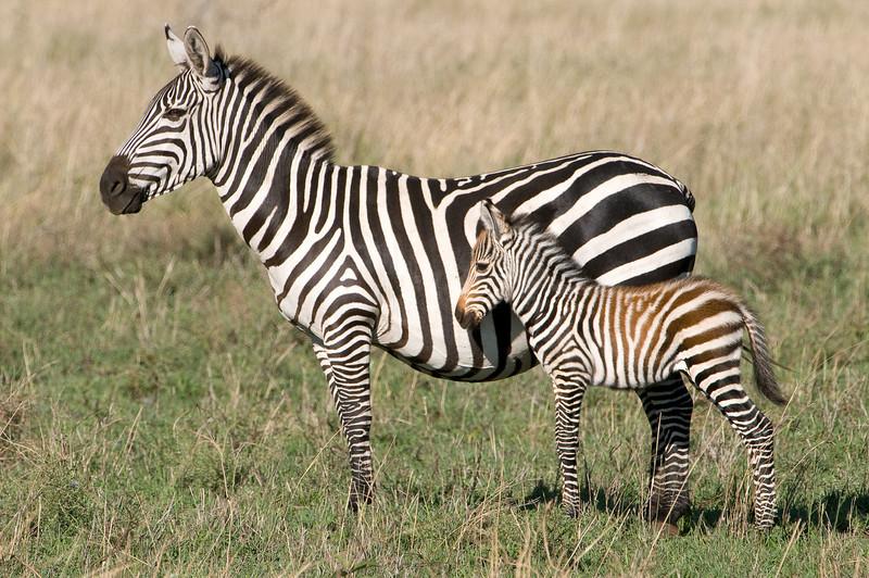 Zebra and baby.
