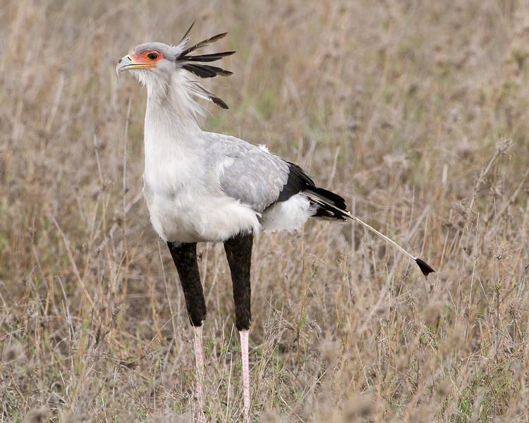 Secretary bird - Sagittarius serpentarius