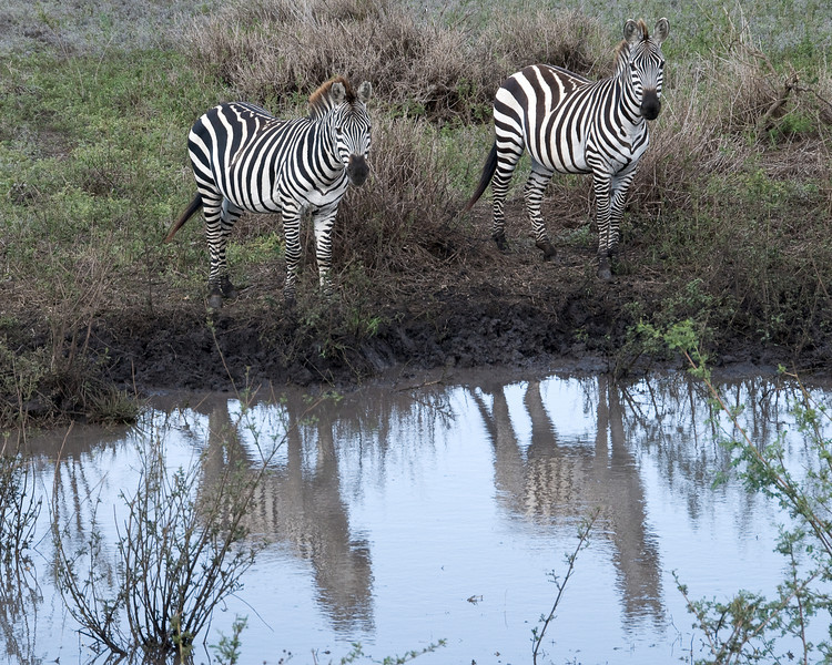 Zebra reflections.