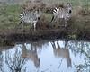 Zebra reflections.
