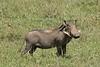 Portrait of a warthog.